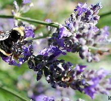 Beautiful Bee on Purple Salvia by Jalil al-Hamza