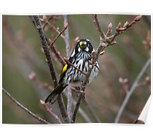 New Holland Honey Eater   Poster