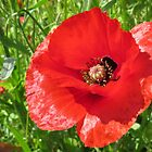 A beautiful poppy by Lorna Taylor