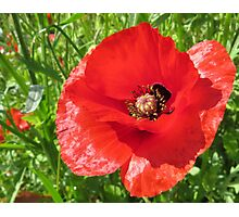 A beautiful poppy Photographic Print
