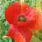 Red Poppy by angelandspot