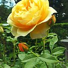 Yellow Rose and Buds by Susan Savad