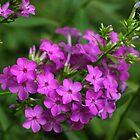 Garden Phlox by Lynn Gedeon
