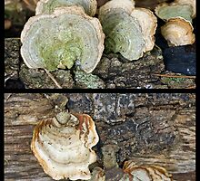 """Two Members of the """"Parchment Family"""" Fungi by Otto Danby II"""
