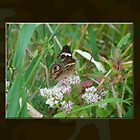Common Buckeye Butterfly - Junonia coenia by MotherNature