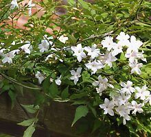 Pretty White Jasmine by lynn carter