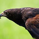 Harris Hawk by JenniferLouise