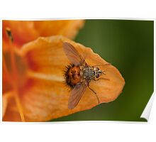 tachinidae - parastic fly Poster