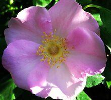 Rose of Virginia by SenskeArt