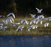Heading To Roost by byronbackyard