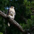 Hawk on Norris Lake by photodug