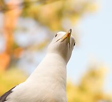 Seagull staring downwards by Arve Bettum
