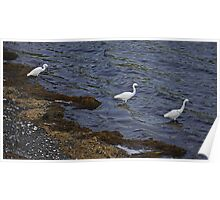 Trio of Egrets Poster