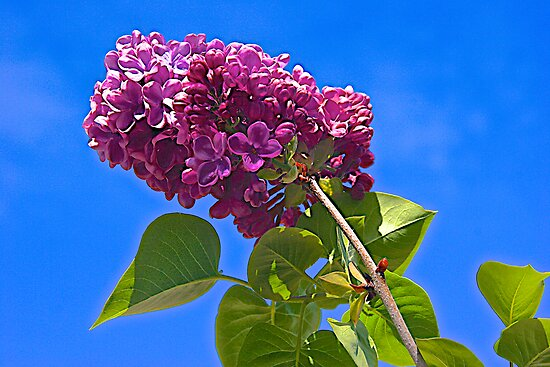 Lilac and Blue Sky by John Butler