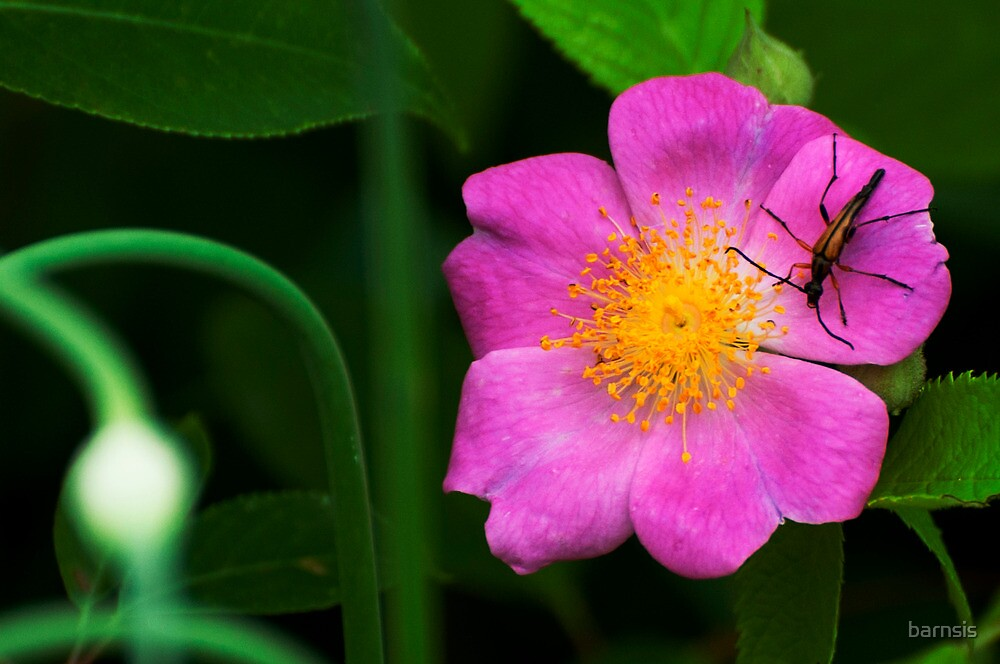A Visitor for a Wild Rose by barnsis