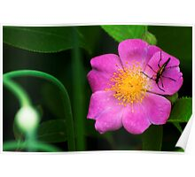 A Visitor for a Wild Rose Poster