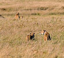 Lion family on its way by Valerija S.  Vlasov