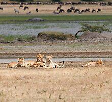 Lion family relaxing by Valerija S.  Vlasov