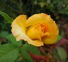 Yellow Rose of Texas by EloiseArt