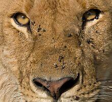 Lion close up by Valerija S.  Vlasov