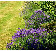 Lavender On Green Photographic Print