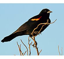 Red Winged Blackbird Photographic Print
