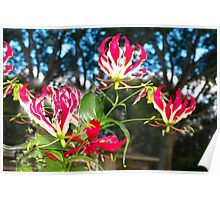 Gloriosa lilies against a fence Poster