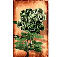 WILD IRISH ROSE - 051 Photographic Print