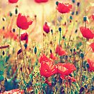 Morning Light - Poppy Field by BelleFlores