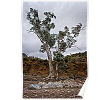 Brachina Gorge trees Poster