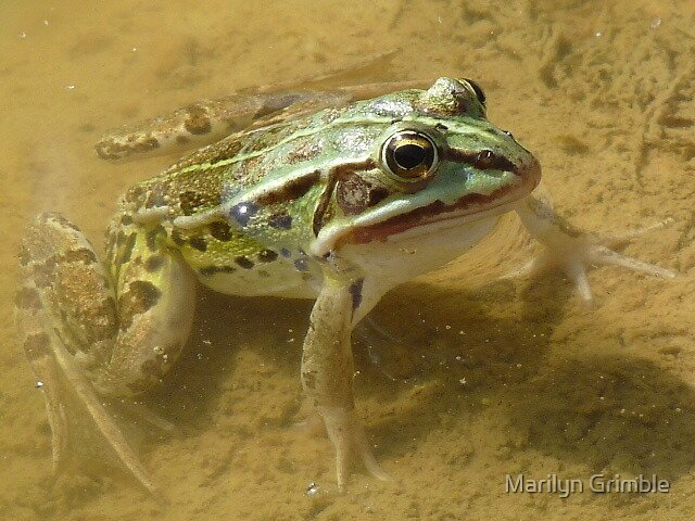 RIBBIT by Marilyn Grimble