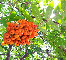 Rowan berries by Arve Bettum