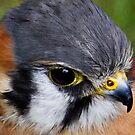Kestrel by partridge