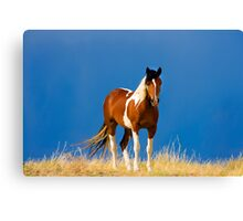 Paint Filly, Wild Mustang Canvas Print