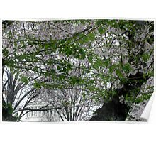 Behind The Cherry Blossoms And Green Leaves Poster