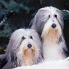 Bearded Collie Dog Portrait by Oldetimemercan