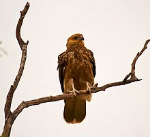 Whistling Kite by Richard  Windeyer