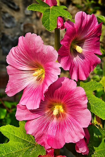 Hollyhocks  by Susie Peek