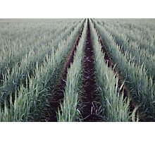 The Wheat Crop Photographic Print