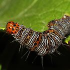 Eight-spotted Forester Moth caterpillar  by Kane Slater