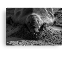 Digging In Canvas Print