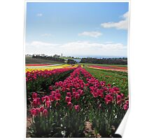 Table Cape Tulips Poster