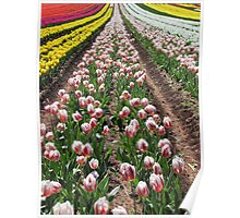 Table Cape Tulips 3 Poster