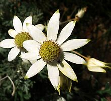 Flannel Flower by elvines