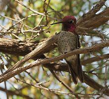 Anna's Hummingbird ~ Male  by Kimberly Chadwick