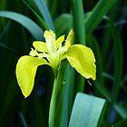 Iris Pseudacorus by acespace