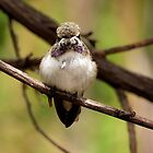 Costa's Hummingbird~ Juvenile by Kimberly Chadwick