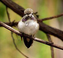 Costa's Hummingbird~ Juvenile by Kimberly Chadwick