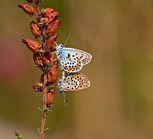 Mating butterflies by César Torres
