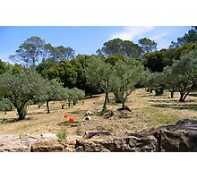 Olives in a Monastery Garden, Provence Photographic Print